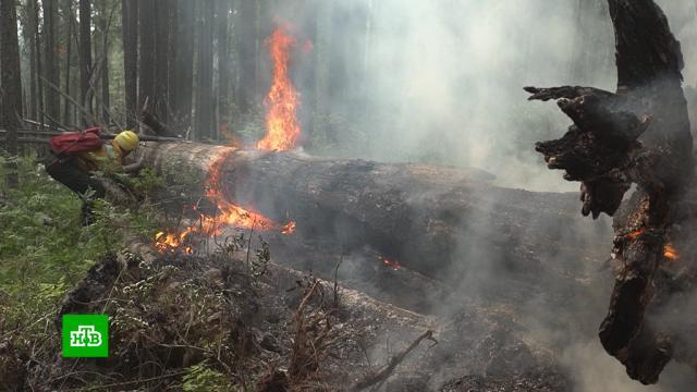 Площадь лесных пожаров в Сибири выросла в полтора раза.лесные пожары, пожары.НТВ.Ru: новости, видео, программы телеканала НТВ