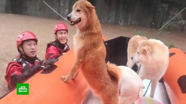 Десятки собак спасли взоне наводнения вКитае.Китай, наводнения, собаки.НТВ.Ru: новости, видео, программы телеканала НТВ