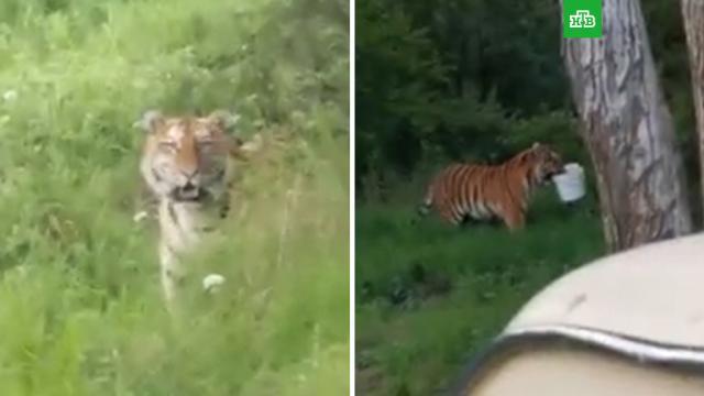 «Кисуня, иди гуляй»: вПриморье крыбакам вышел тигр иутащил их улов.Приморье, охота и рыбалка, тигры.НТВ.Ru: новости, видео, программы телеканала НТВ