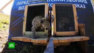 Двух сочинских леопардов выпустили вдикую природу вСеверной Осетии