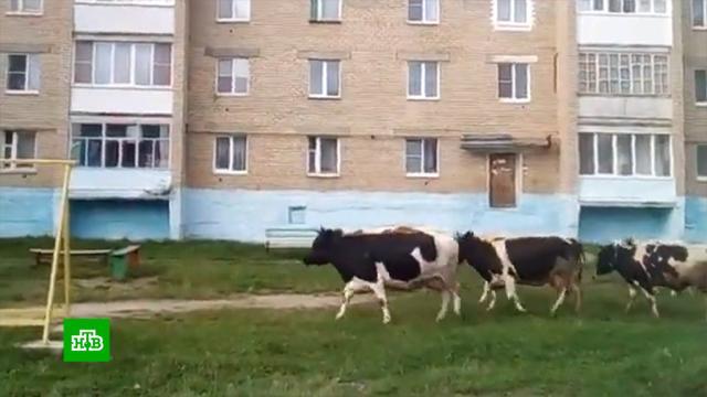 Очевидец рассказал онападении коров вЧелябинской области.коровы, нападения, полиция, Челябинская область.НТВ.Ru: новости, видео, программы телеканала НТВ