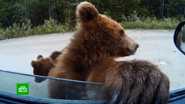 Влес за грибами сриском для жизни: как не стать добычей медведя.животные, лес, медведи.НТВ.Ru: новости, видео, программы телеканала НТВ