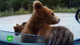 Влес за грибами сриском для жизни: как не стать добычей медведя