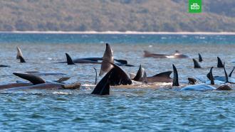 Почти три сотни дельфинов выбросились на отмель вАвстралии
