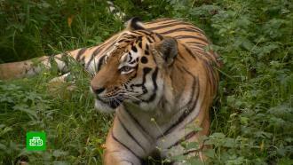 Бракорьеры застрелили краснокнижного тигра Павлика