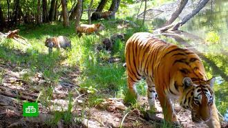 После реабилитации амурские тигры создают семьи вдальневосточной тайге