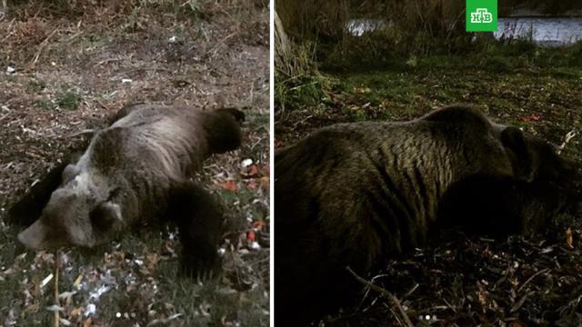 На Камчатке прикормленный медведь напал на туристку.На Камчатке медведь, прикормленный туристами, ранил женщину, которая приехала из Москвы.Камчатка, животные, медведи.НТВ.Ru: новости, видео, программы телеканала НТВ