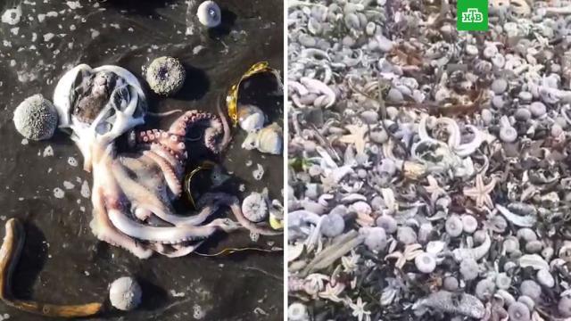 Смерть тысяч морских обитателей на камчатском побережье.Камчатка, море, океан, разлив нефтепродуктов и химикатов, экология.НТВ.Ru: новости, видео, программы телеканала НТВ