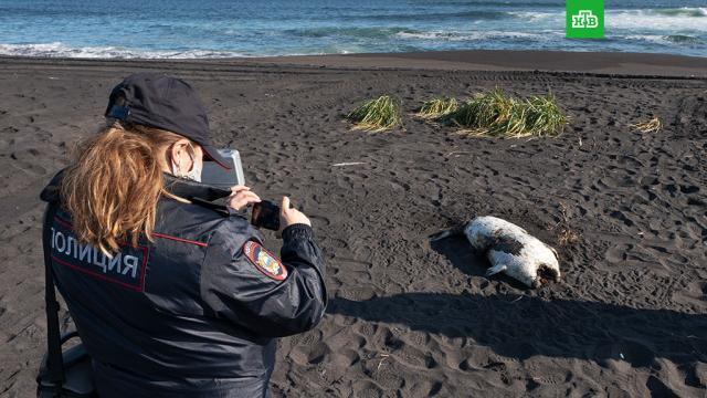 Губернатор Камчатки назвал три версии отравления Авачинского залива.Камчатка, разлив нефтепродуктов и химикатов, экология.НТВ.Ru: новости, видео, программы телеканала НТВ