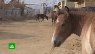 Табуны бродячих лошадей держат встрахе жителей Якутска
