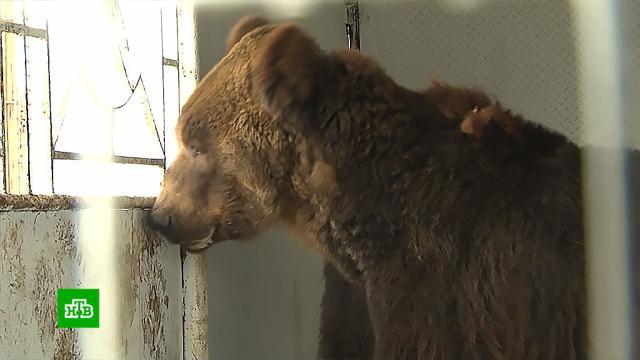 Бывшего циркового медведя новый хозяин 17 лет держал в тесной клетке.животные, медведи.НТВ.Ru: новости, видео, программы телеканала НТВ