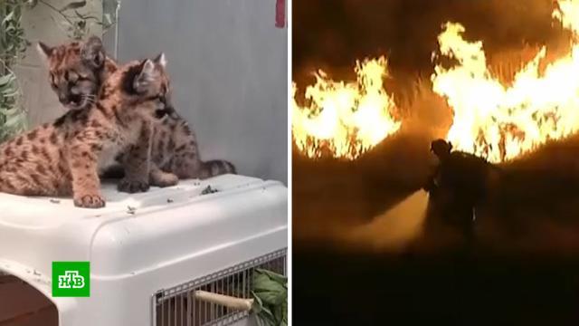 ВКалифорнии спасли от пожара котят горного льва.США, лесные пожары, пожары.НТВ.Ru: новости, видео, программы телеканала НТВ