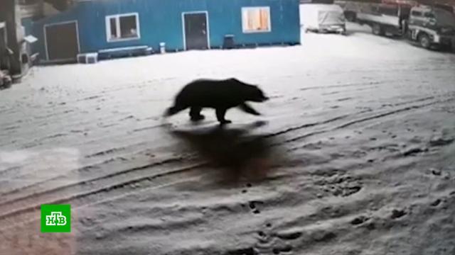 ВМагадане голодный медведь роется вмусорных баках ипугает людей.Магадан, животные, медведи.НТВ.Ru: новости, видео, программы телеканала НТВ