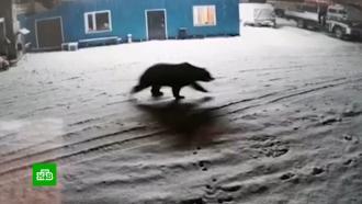 ВМагадане голодный медведь роется вмусорных баках ипугает людей