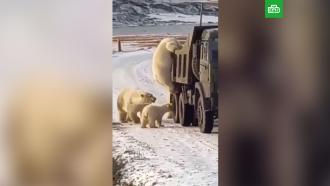 Досматривающих грузовики белых медведей сняли на видео