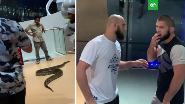 Появилось видео сНурмагомедовым, убегающим от огромной змеи.единоборства, змеи.НТВ.Ru: новости, видео, программы телеканала НТВ