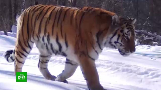 На Дальнем Востоке тестируют современную систему идентификации амурских тигров.Дальний Восток, животные, технологии, тигры.НТВ.Ru: новости, видео, программы телеканала НТВ