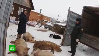 Африканская чума убивает свиней в Татарстане