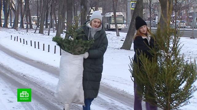 Жители культурной столицы охотно отдают новогодние елки в переработку.Новый год, Санкт-Петербург, растения, торжества и праздники.НТВ.Ru: новости, видео, программы телеканала НТВ
