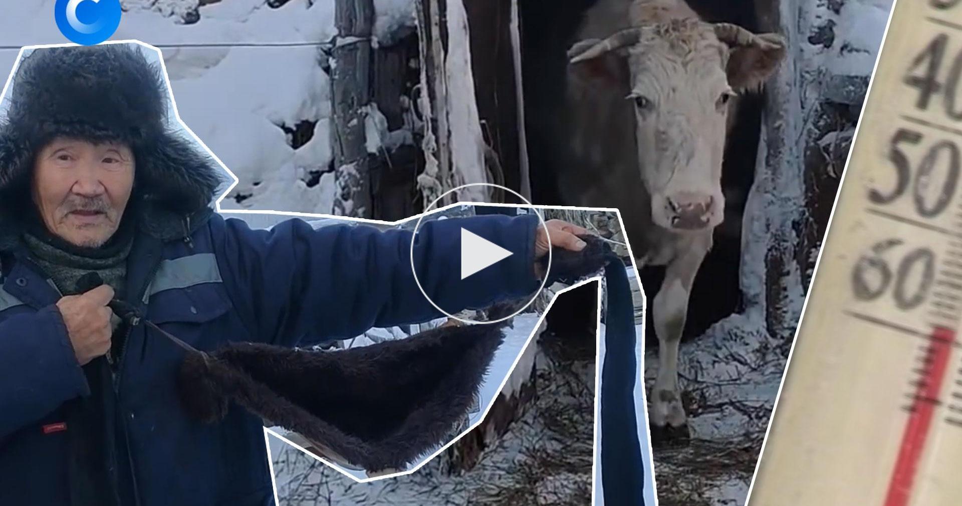 Зачем коровам меховые лифчики
