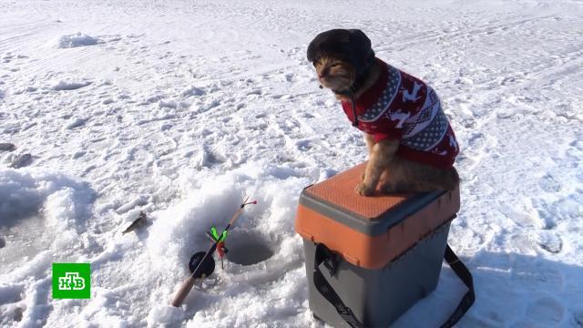 Кот Симба в свитере и шапке-ушанке ходит с хозяином на зимнюю рыбалку.животные, кошки, охота и рыбалка.НТВ.Ru: новости, видео, программы телеканала НТВ
