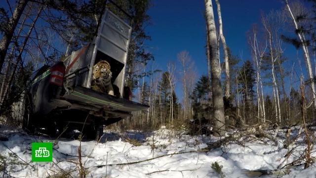 ВПриморье выпустили на волю тигрицу, напугавшую несколько сел.Дальний Восток, Приморье, животные, тигры.НТВ.Ru: новости, видео, программы телеканала НТВ