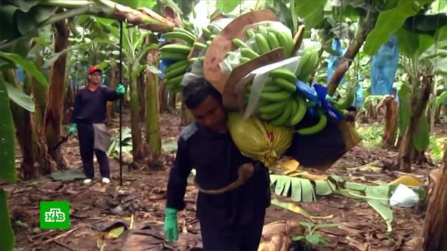 Российские ретейлеры столкнулись снехваткой бананов.Эквадор, магазины, продукты, торговля.НТВ.Ru: новости, видео, программы телеканала НТВ