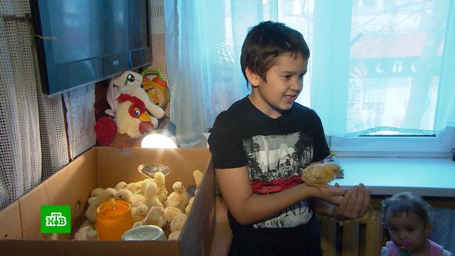 Школьник из многодетной семьи выводит цыплят воднокомнатной квартире