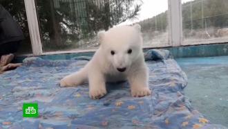 Белые медвежата впервые вышли на прогулку в<nobr>сафари-парке</nobr> Геленджика