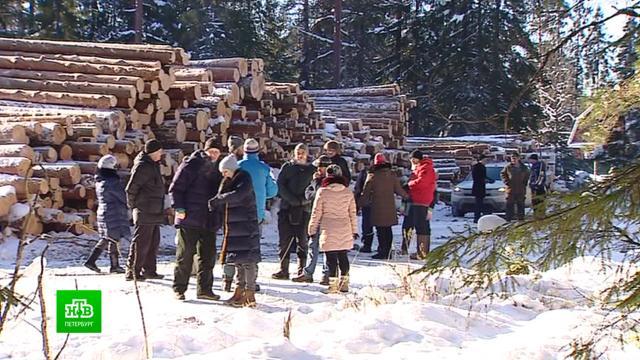 В Вырице спорят, нужно ли защищать лес от санитарной вырубки.Ленинградская область, лес.НТВ.Ru: новости, видео, программы телеканала НТВ