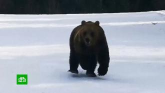 Медведь устроил погоню за лыжником вРумынии