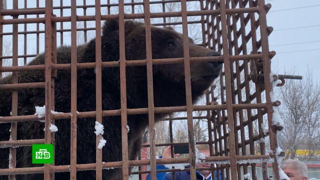 ВНижневартовске ищут новый дом для <nobr>медведицы-беглянки</nobr>