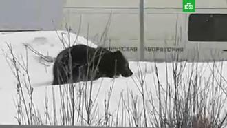 Гулявшего по улицам медведя ловят в Нижневартовске