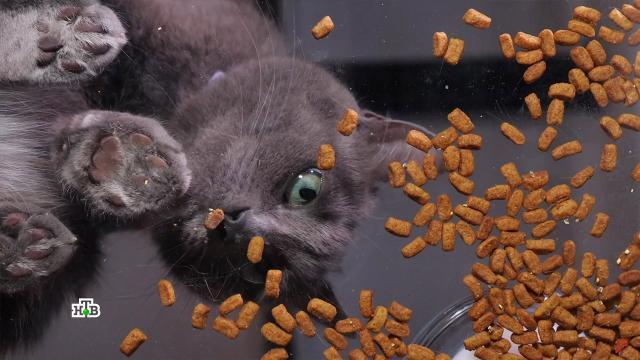 Корм, снижающий аллергенность кошек: трехнедельный эксперимент.аллергия, животные, здоровье, кошки.НТВ.Ru: новости, видео, программы телеканала НТВ