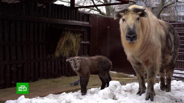 В Московском зоопарке родился детеныш сычуаньского такина.Москва, животные, зоопарки.НТВ.Ru: новости, видео, программы телеканала НТВ
