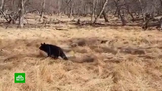 Спасенную дачниками медведицу Машку выпустили в дикую природу.Приморье, животные, медведи.НТВ.Ru: новости, видео, программы телеканала НТВ
