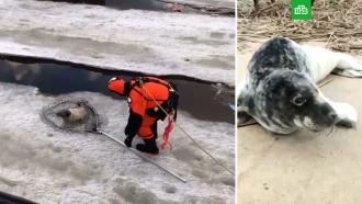 Детеныша серого тюленя спасли вПетербурге