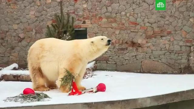 ВПетербурге умерла одна из старейших белых медведиц мира.Санкт-Петербург, животные, зоопарки, медведи.НТВ.Ru: новости, видео, программы телеканала НТВ