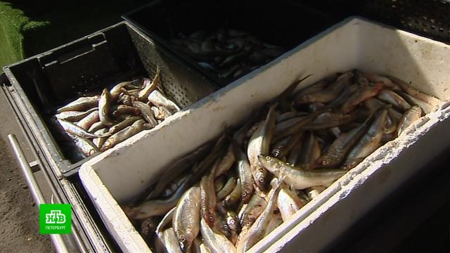 Цены на корюшку вПетербурге бьют все рекорды.Санкт-Петербург, рыба и рыбоводство, торговля.НТВ.Ru: новости, видео, программы телеканала НТВ