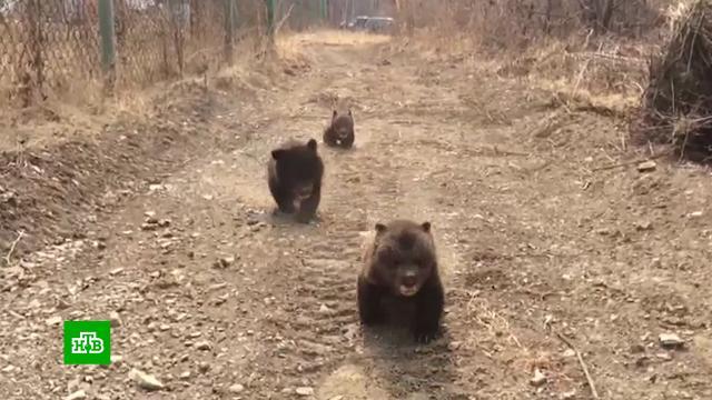 Берлога со всеми удобствами: в Приморье появился частный приют для гималайских медведей