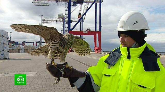 На страже порта: грузы в Бронке теперь охраняют ястребы и соколы