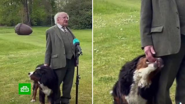 Пес президента Ирландии пытался поиграть с хозяином во время интервью.Ирландия, животные, курьезы, собаки.НТВ.Ru: новости, видео, программы телеканала НТВ