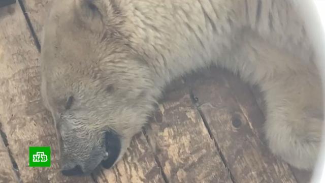Спасенную в Якутии исхудавшую белую медведицу отправят в Москву.Якутия, животные, медведи.НТВ.Ru: новости, видео, программы телеканала НТВ