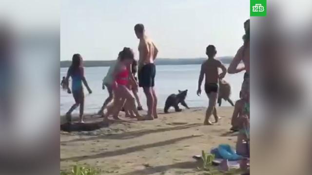 Дети на пляже догнали и затискали медвежонка.Челябинская область, медведи.НТВ.Ru: новости, видео, программы телеканала НТВ