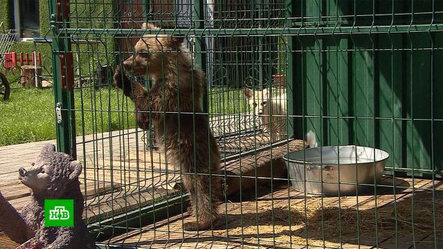 Привыкшая ксладостям медведица из Чебаркуля не сможет вернуться вдикую природу.Челябинская область, животные, медведи.НТВ.Ru: новости, видео, программы телеканала НТВ