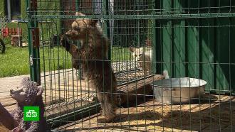 Привыкшая ксладостям медведица из Чебаркуля не сможет вернуться вдикую природу