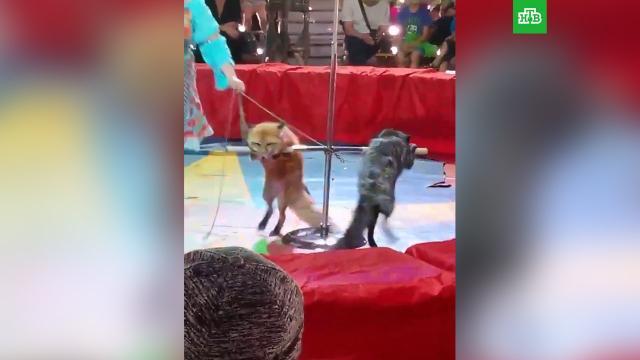 Цирковое шоу с изможденными лисицами возмутило жителей Миасса.Челябинская область, животные, цирк.НТВ.Ru: новости, видео, программы телеканала НТВ