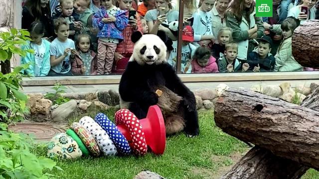 Пандам Московского зоопарка подарили игрушки вДень защиты детей.Москва, животные, зоопарки, панды.НТВ.Ru: новости, видео, программы телеканала НТВ