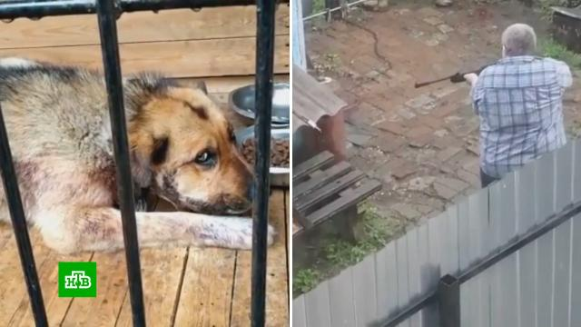 Вупор: житель Биробиджана 15раз выстрелил вцепного пса.Еврейская АО, жестокость, животные, собаки, стрельба.НТВ.Ru: новости, видео, программы телеканала НТВ