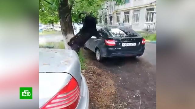 Распоясавшиеся козлы терроризируют нижегородцев.Нижегородская область, животные.НТВ.Ru: новости, видео, программы телеканала НТВ